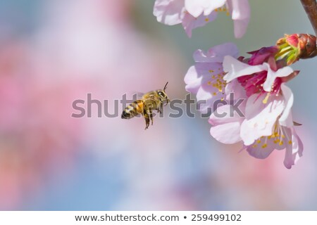 worker bee collecting pollen from pink flower Stock photo © sherjaca