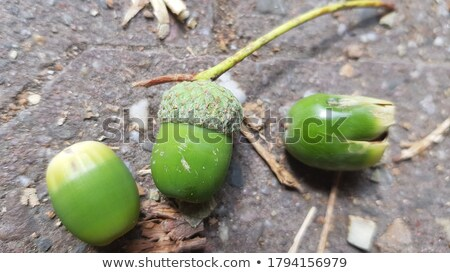 Green acorn Stock photo © Dionisvera