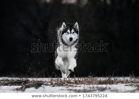 Alaszkai kutya fut gyep fa fű Stock fotó © raywoo