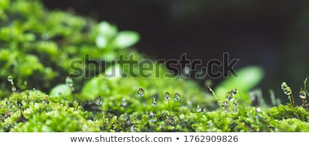 Fresh moss and water drops in green nature Stock photo © sweetcrisis