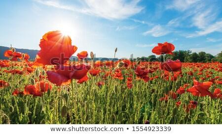 careless summer memory Stock photo © dolgachov