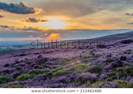 lonely tree in purple fields of heather stock photo © ingesche