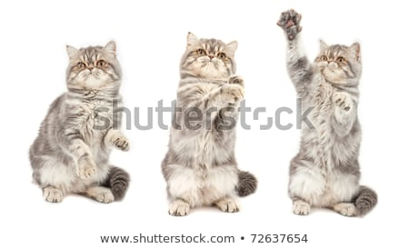 Exotic short-haired kitten in different poses Stock photo © vlad_star