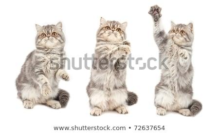 котенка · экзотический · короткошерстная · чайная · чашка · белый · кошки - Сток-фото © vlad_star