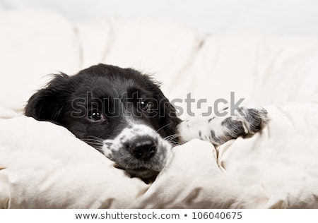 Stock photo: Springer spaniel puppy resting on a white blanket