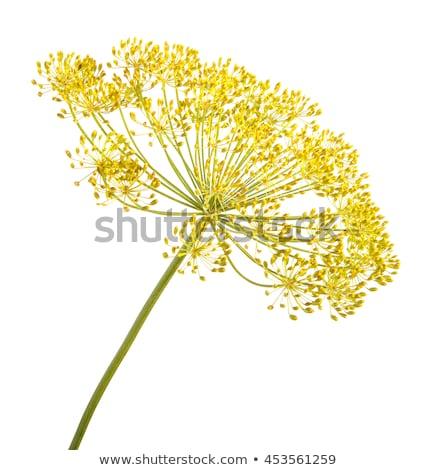 Hinojo flor especias primavera jardín Foto stock © ziprashantzi
