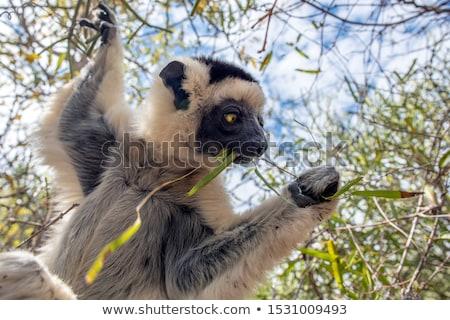 Lemur Silky sifaka (Propithecus candidus) Stock photo © ajlber