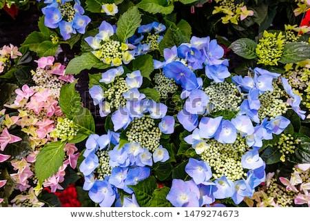 Lacecap Hydrangea (macrophylla normalis) Stock photo © homydesign