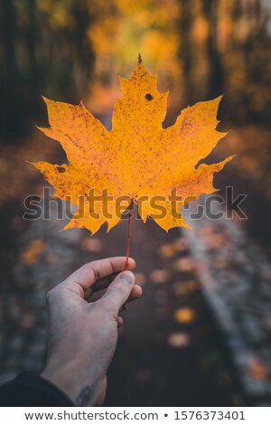 Golden Maple Leaf stock photo © ca2hill