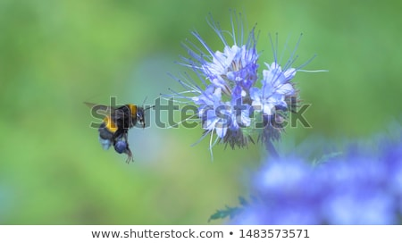 flowers and bumblebee Stock photo © prill