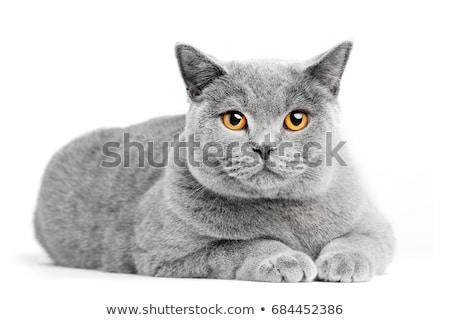 brit · rövidszőrű · macska · fehér · izolált · természet - stock fotó © ewastudio