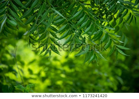 Neem Tree Stock photo © vinodpillai
