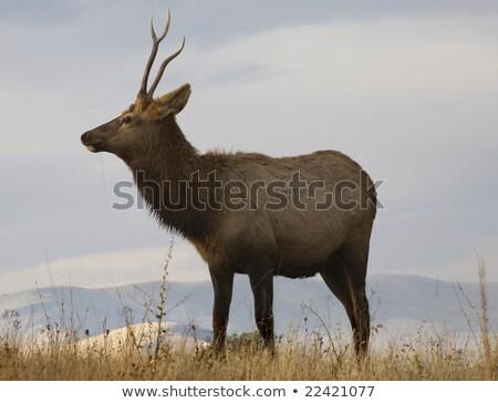 Jeunes Homme bison gamme Montana Photo stock © billperry