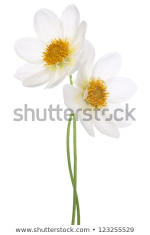 Deux blanche Daisy fleur isolé amour Photo stock © lunamarina