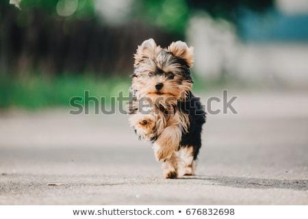 Boldog kicsi Yorkshire terrier ül néz Stock fotó © fantasticrabbit