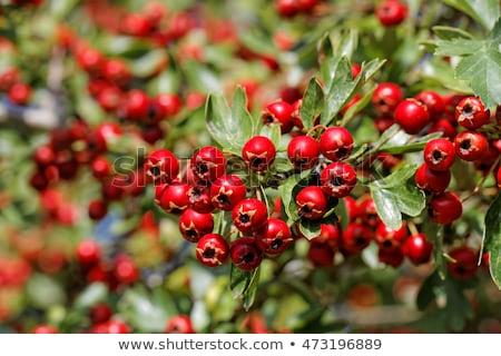 чай · природы · фрукты · фон · зеленый · пить - Сток-фото © justinb