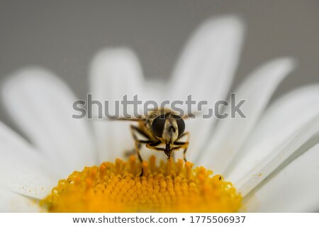 Stock fotó: Méh · fej · virág · kicsi · kúszás · fehér