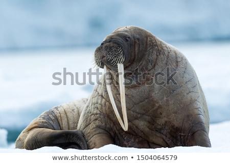 морж рисованной эскиз Cartoon иллюстрация природы Сток-фото © perysty