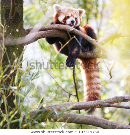 red panda ailurus fulgens lit shining cat stock photo © lightpoet