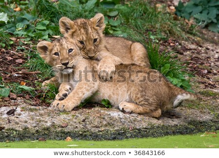 Playful lion cubs Stock photo © ottoduplessis