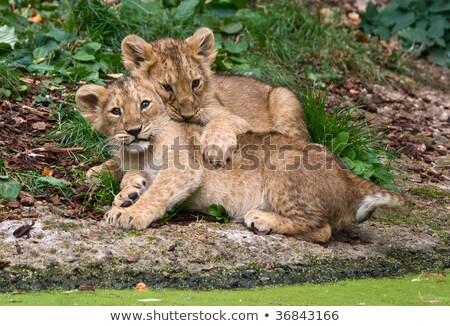 aslan · üç · arkasında · ağaç · doğa - stok fotoğraf © ottoduplessis