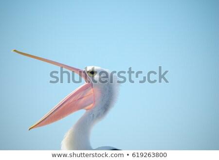 portrait of pelican close stock photo © oleksandro