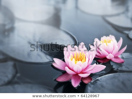 Pink lotus blossoms or water lily flowers blooming on pond Stock photo © FrameAngel