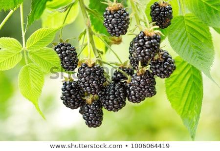 BlackBerry jardín maduro frutas verde rojo Foto stock © Paloczgee