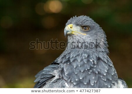Black Chested Buzzard Eagle on a Perch Stock photo © rhamm