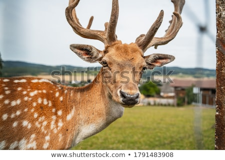 fallow deer calf on white Stock photo © taviphoto