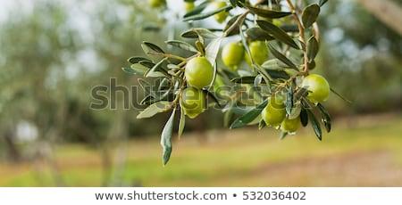 Olijfolie boomgaard houten tafel olijfolie productie bomen Stockfoto © mythja
