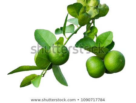 A lime tree on a white background Stock photo © Zerbor