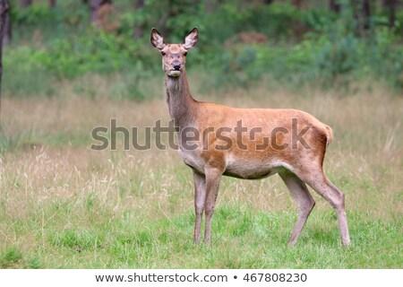 鹿 · シーズン · 草 · 森林 · 自然 - ストックフォト © romitasromala