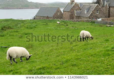 Sheep in the fields of Iona in the Inner Hebrides, Scotland Sheep in the fields of Iona in the Inner Stock photo © Julietphotography