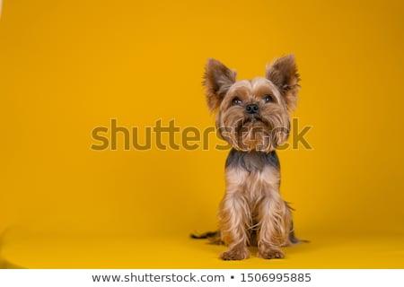 Belo yorkshire terrier sessão cão vermelho Foto stock © svetography