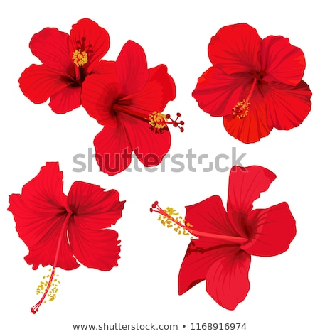 Roşu Hibiscus floare tropical plantă modă Imagine de stoc © gladiolus
