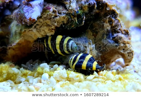 Bumble bee snail Stock photo © bdspn