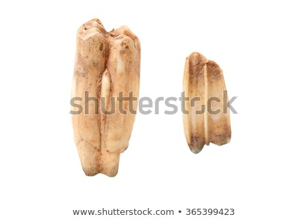 wild boar molars over white stock photo © taviphoto