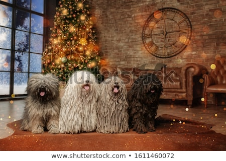 Stock photo: Hungarian dog Puli is looking in the studio