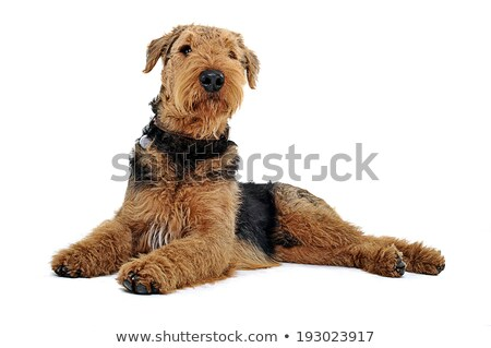 Stock photo: Airedale Terrier lying on the white studio floor