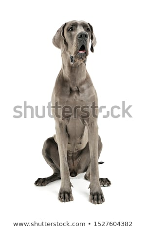 Stock photo: Deutsche Dogge in the isolated white background