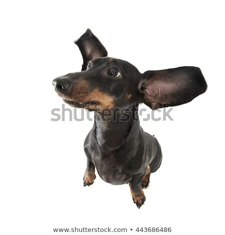Cute smooth hair dachshund in a photo studio Stock photo © vauvau