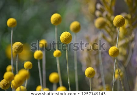 Australian Spring wildflowers yellow Billy Buttons Stock photo © sherjaca