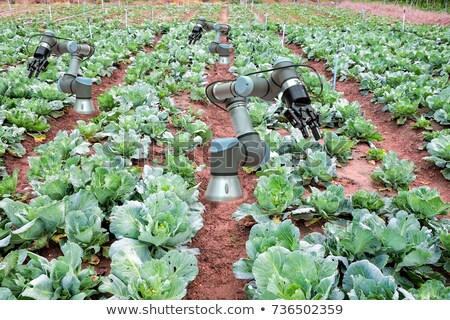 robot harvesting cabbage at agricultural field stock photo © rastudio