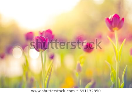 Foto stock: Flowers Tulips On The Background Bokeh