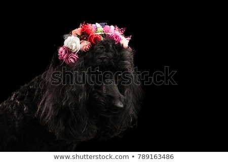poodle wearing flower crown and looks to side Stock photo © feedough