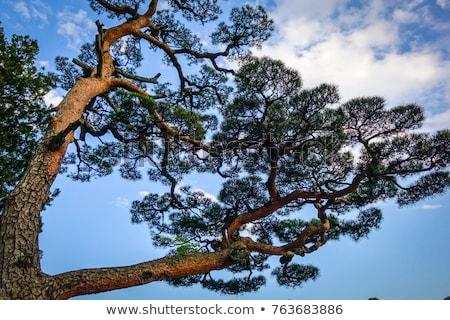 japanese black pine on a blue sky nikko japan stock photo © daboost