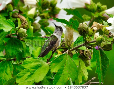 Male Young Hummingbird Perched Stock photo © davidgn