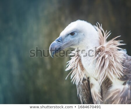 griffon vulture stock photo © boggy