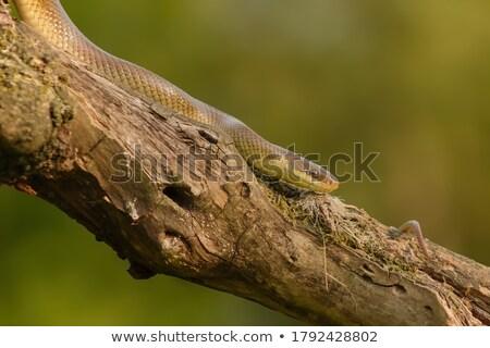 beautiful juvenile aesculapian snake Stock photo © taviphoto